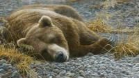 Grizzly at Rest