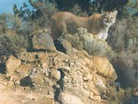 Cliff Dweller - Cougar