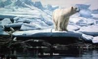 Cumberland Sound Polar Bear