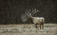 Early Snowfall - Elk
