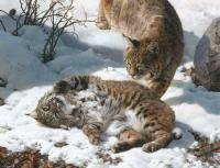 Love is in the Air - Bobcats
