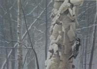 Hairy Woodpecker On Birch